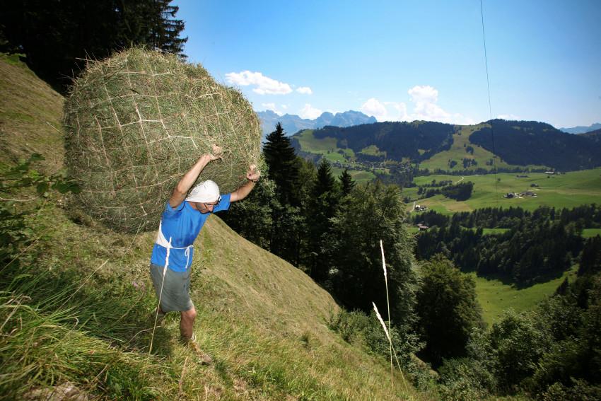 Wildheuer der Ober-Sulzmatt in Wiesenberg grasen im steilen Hang. Aufgenommen am 20. August 2009 in Wiesenberg.    (Bild Chris Iseli/ Neue LZ)    Wildheuen, Schauplatz, Bergbauern, Ober-Sulzmatt, Wiesenberg